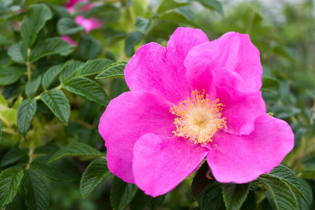Dog rose on a rose bush.