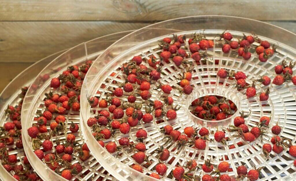 Dehydrated rosehips on three stacked dehydrator trays.
